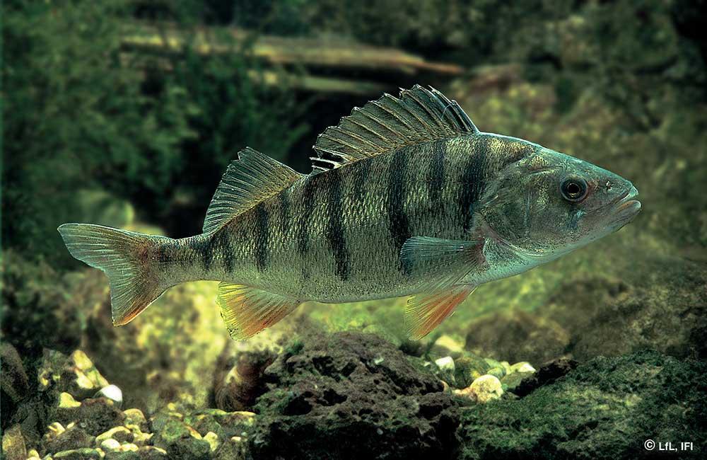 Fische im Königssee: Flussbarsch