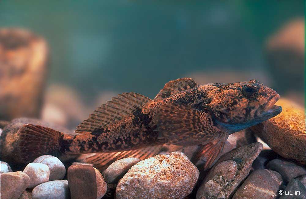Fische im Königssee: Koppe
