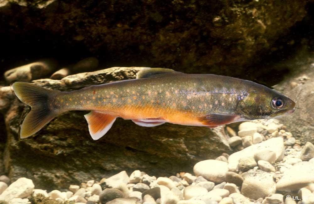 Fische im Königssee: Schwarzreiter