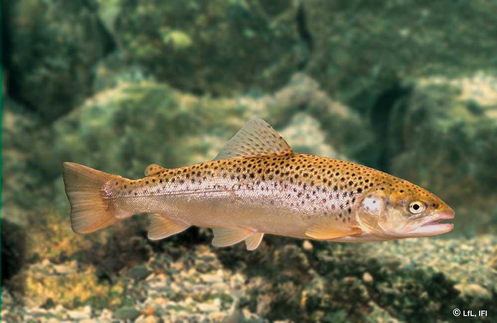 Fische im Königssee: Seeforelle